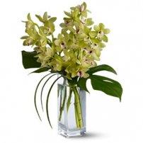 Orquídeas Cymbidium, Nicaragua